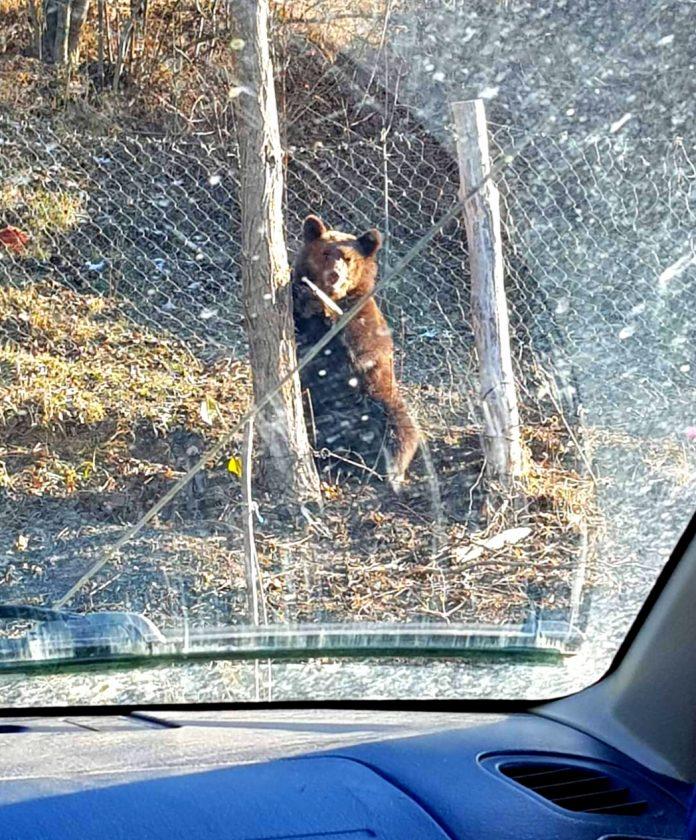 Urs prins în laț, la Negrilești; el a fost tranchilizat pentru a fi eliberat